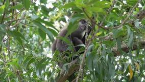 De aap eet droog fruit op een boom in de wildernissen stock footage