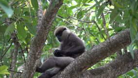 De aap eet droog fruit op een boom in de wildernissen stock video