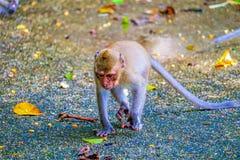 De aap eet een banaan stock foto