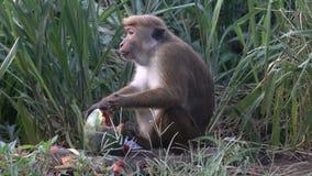 De aap eet een watermeloen in een stortplaats stock footage