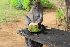 De aap eet kokosnoot stock foto's