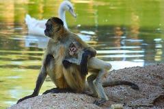 De aap en de baby van de mammamoeder bij de Dierentuin van het Wereldwild Stock Foto