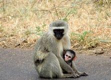 De Aap en de baby van Vervet Stock Fotografie