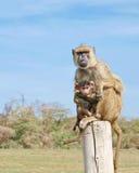 De Aap en de Baby van Vervet Royalty-vrije Stock Fotografie