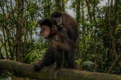 De aap en zijn welp royalty-vrije stock foto's