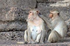 De aap geniet van zoekend naar insecten Royalty-vrije Stock Foto