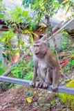 De aap macaque zit op de dwarsbalk in de tuin, Thaila Stock Foto