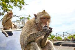 De aap op de auto eet Stock Foto