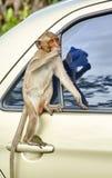 De aap op de auto eet thailand Royalty-vrije Stock Fotografie
