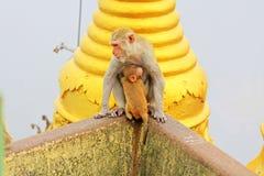 De aap in Popa Taungkalat Shrine, zet Popa, Myanmar op stock afbeeldingen