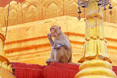 De aap in Popa Taungkalat Shrine, zet Popa, Myanmar op royalty-vrije stock afbeelding