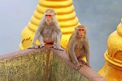 De aap in Popa Taungkalat Shrine, zet Popa, Myanmar op royalty-vrije stock foto