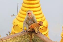 De aap in Popa Taungkalat Shrine, zet Popa, Myanmar op stock foto's