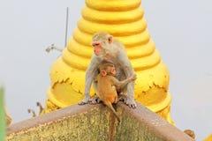 De aap in Popa Taungkalat Shrine, zet Popa, Myanmar op royalty-vrije stock fotografie