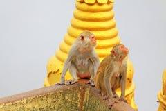 De aap in Popa Taungkalat Shrine, zet Popa, Myanmar op stock afbeelding