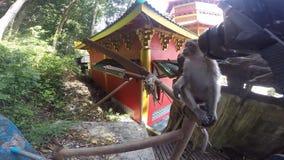 De aap raakt en bijt de cameralens stock video