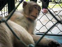 De aap toont in de kooi wachtend op een lichaamscontrole Royalty-vrije Stock Afbeelding