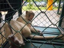 De aap toont in de kooi wachtend op een lichaamscontrole Royalty-vrije Stock Afbeeldingen