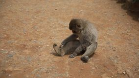 De aap van Arashiyamakyoto stock video