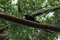De Aap van de babyhuiler op een tak, Stock Fotografie