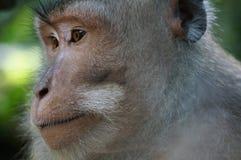 De aap van Bali Royalty-vrije Stock Afbeelding