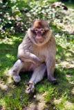 De aap van Barbarije Stock Afbeelding