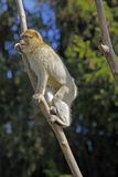 De aap van Barbarije royalty-vrije stock afbeelding