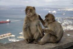 De aap van Barbarije of macaque, Macaca-sylvanus Stock Afbeeldingen