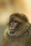 De aap van Berber Royalty-vrije Stock Foto's