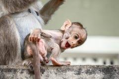 De aap van de bonnet macaques baby schijnt lachend stock fotografie
