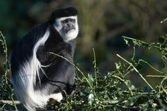 De aap van Colobus stock afbeelding
