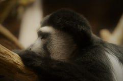 De aap van Colobus stock foto's