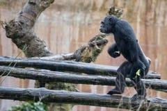 De aap van de aapchimpansee Royalty-vrije Stock Foto