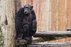 De aap van de aapchimpansee Stock Foto