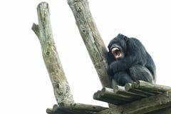De aap van de aapchimpansee terwijl geeuw Royalty-vrije Stock Afbeelding