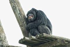 De aap van de aapchimpansee terwijl geeuw Stock Foto's