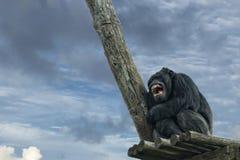 De aap van de aapchimpansee terwijl geeuw Stock Afbeelding