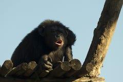De aap van de aapchimpansee terwijl geeuw Stock Foto