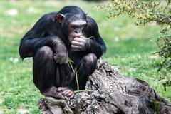 De aap van de aapchimpansee terwijl het rusten Royalty-vrije Stock Foto