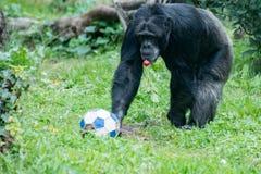 De aap van de aapchimpansee terwijl komst aan u met voetbalbal Stock Foto's