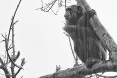 De aap van de aapchimpansee in zwart-wit Stock Foto's