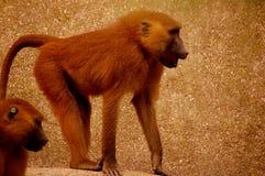 De aap van de dierentuin Stock Afbeeldingen