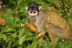 De aap van de eekhoorn Stock Foto's