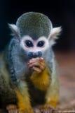 De Aap van de eekhoorn Stock Foto