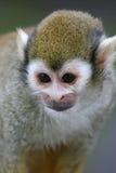 De Aap van de eekhoorn Stock Afbeeldingen