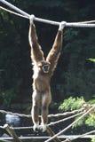 De aap van de gibbon Royalty-vrije Stock Foto