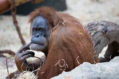 De aap van de gorilla royalty-vrije stock foto's