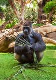 De aap van de gorilla in park bij de Kanarie van Tenerife Stock Afbeeldingen