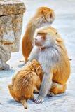De aap van de Hamadryasbaviaan Stock Foto