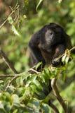 De aap van de huiler Stock Afbeeldingen